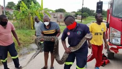 Shock as huge python eats pregnant dog