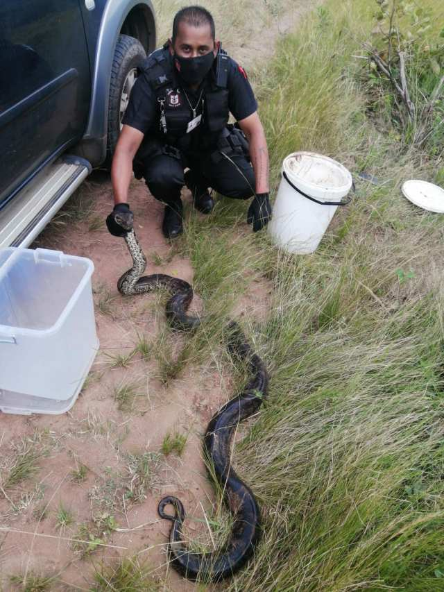 Huge python captured in KZN by herdsman