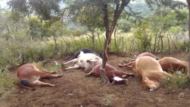 KZN man in tears after lightning kills his 7 cows, leaving him with only 3 calves