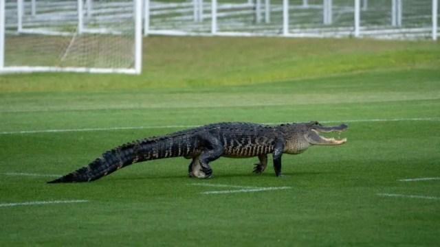 Big alligator invades Soccer team training session