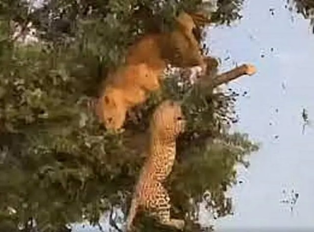 Lion fights leopard for a meal on top of the tree