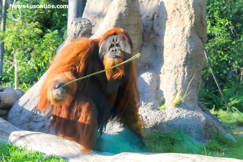 The orangutan exhibit is a popular attraction at the zoo. Photo Credit: Dennis J. Freeman/News4usonline.com