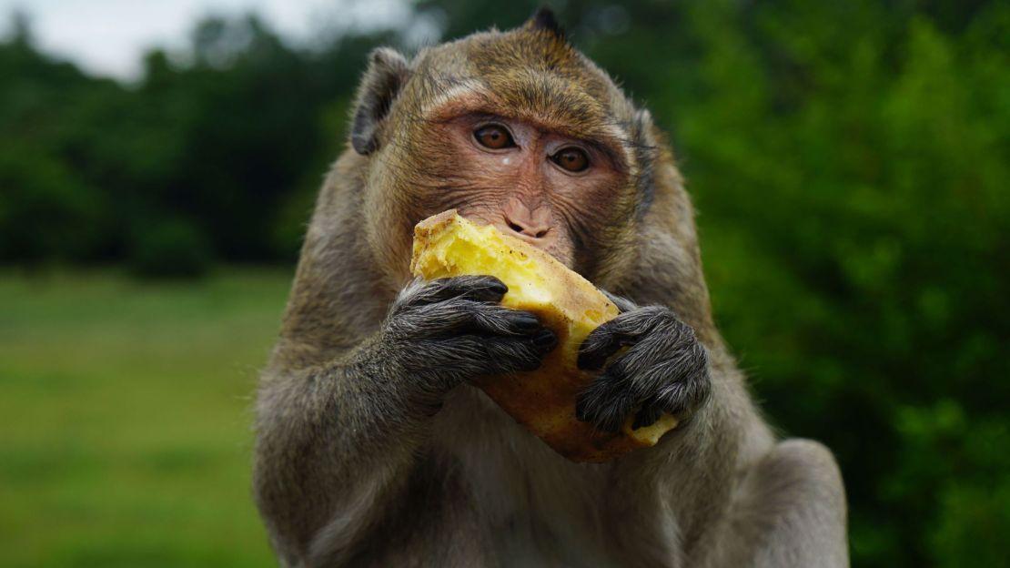 An Angkor Wat monkey feeding on some food. Photo by Melinda Meijer