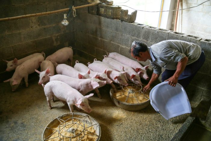China's hog farmers struggle as pork prices swing and throw off debt-fueled expansion plans
