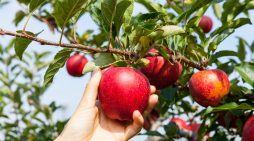 Need a fall activity? Go apple picking in San Diego County