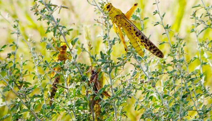 New locust swarms from India, Afghanistan could enter Pakistan in July: food security minister