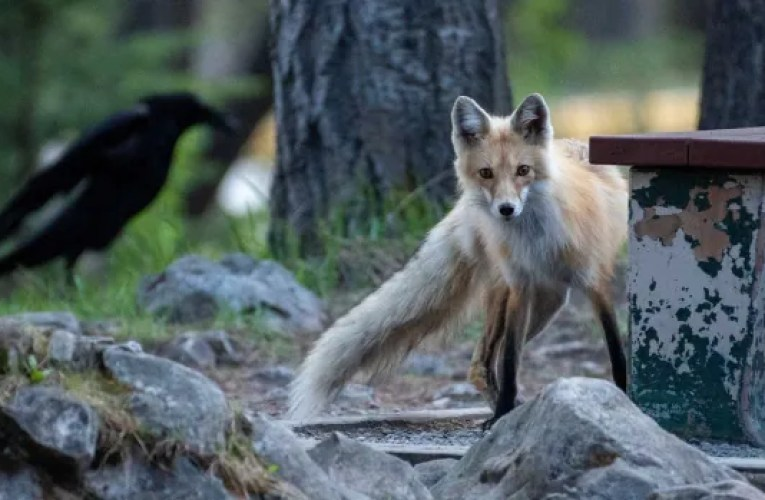 These foxes have shut down an area of Lake Minnewanka to have pups | CBC News