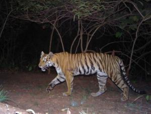India's Tiger Census sets a New Guinness-Record