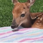 Trenton man saves newborn deer after doe dies along I-75