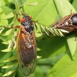 Billions of cicadas are about to take to the skies