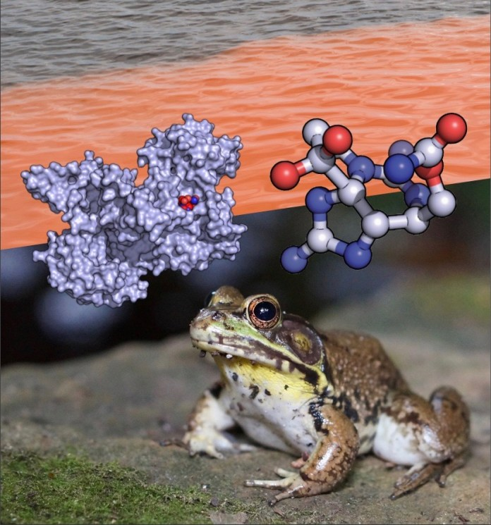 A photographic illustration showing the atomic structures of saxiphilin and saxitoxin, a flowering of red tide algae and an American bullfrog (R. catesbeiana).