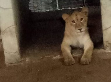 Task force recovers lion owned by Indian in Lagos