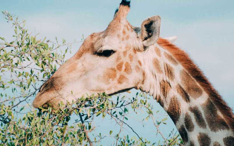 Namibian Giraffes Fitted with GPS Technology (News Central TV)