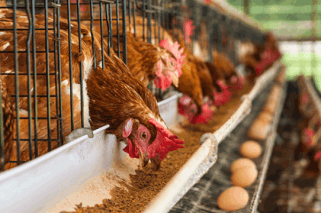 Image result for Nigerian poultry farmers complain of low patronage