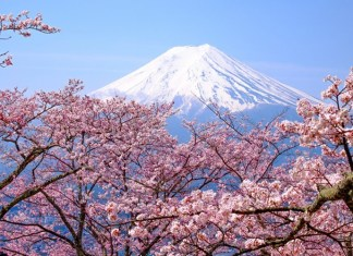 Japan Cherry Blossom 2019
