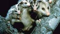 Why Opossum has a Pouch (Koasati Tribe) retold by S. E. Schlosser One evening, Opossum was playing in a field with her babies when Big Bat came swooping down and […]