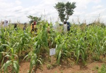 women observing the hybrid maize on the demonstration farm