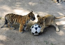 Tiger and lion cubs play the football at Qingdao Forest Wildlife World in Qingdao, east China's Shandong Province, Sept. 26, 2015. Seven manchurian tiger cubs and four African lion cubs, all of which are three months old, met with the press recently. (Xinhua/Yu Fangping) (lfj)