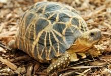 endangered tortoise