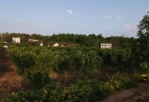 Photo shows a grapefruit orchard in Gexin village. Photo by Wang Mingfeng, People's Daily