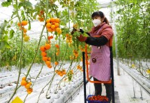 "A woman takes care of tomatoes at a ""digital farm"" in southwest China's Chongqing municipality, March 5. Liangping district of the municipality has achieved smart agricultural production by applying technologies such as agricultural internet of things and big data. By Liu Hui, People's Daily Online"