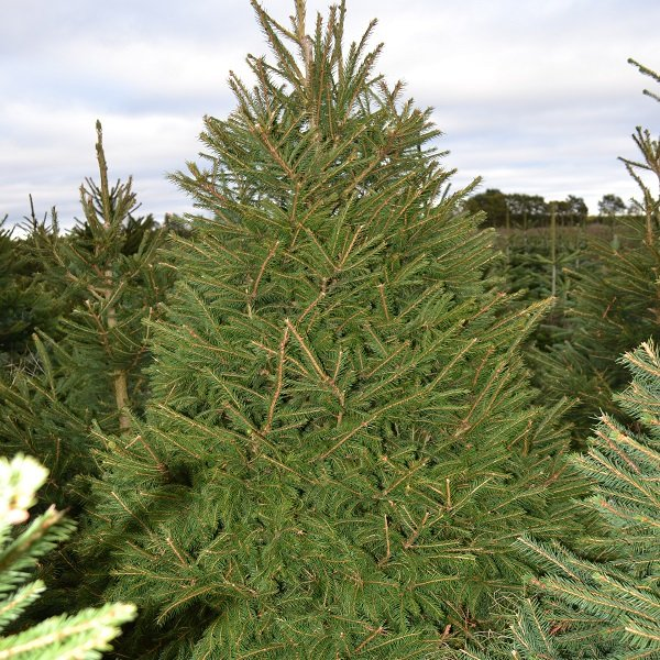 Norway spruce in the field