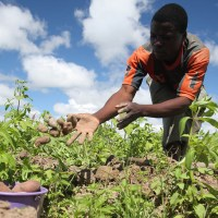 Climate Change and COVID-19 left worst impact on agriculture across West and Central Africa