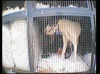 RSPCA greyhound video grab