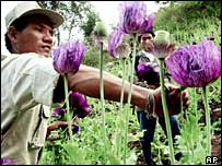 Opium crop eradication underway near Thai-Burmese border