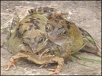 three headed frog