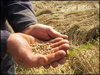 Manos muestran semillas de trigo
