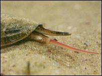Los Conus están amenazados porque son muy preciados por los coleccionistas.