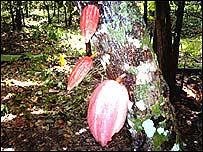 El cacao orgánico se cotiza a mayor precio.