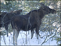 Moose feeding in a forest (Image: Erkki Oksanen, the Finnish Forest Research Institute)