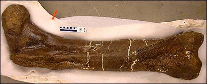 T. rex thighbone   Image: Science