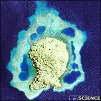 El estudio se realizó en un pequeño arrecife de la bah�a de Kimbe.