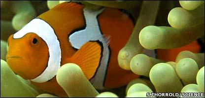 Cerca del 60% de los peces payaso jóvenes dieron con el camino a casa.