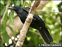 New Caledonian crow (Jolyon Troscianko)