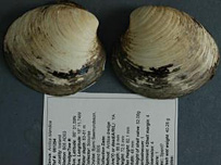 Ming the clam (Source: Bangor University)