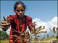 Woman harvesting millet