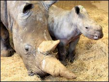The 55th white rhino born at Whipsnade Zoo has no name
