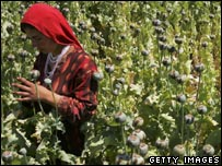 Poppy harvest in Afghanistan