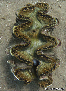Giant clam (M.Naumann)
