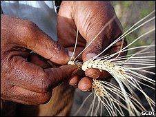 200mila varietà di grano sono abbastanza?