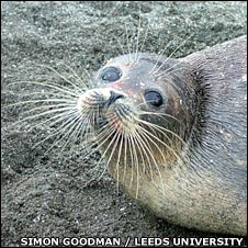 Caspian seal (Simon Goodman/Leeds University/Caspian International Seal Survey)