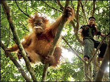 Orangutan (AP)