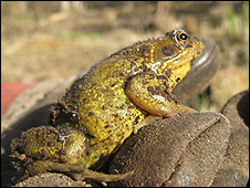 Mating frogs are vulnerable to predators such as foxes and herons