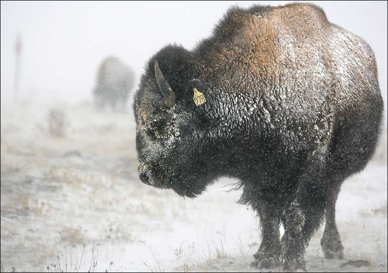 A bison looks for something to eat in blowing snow