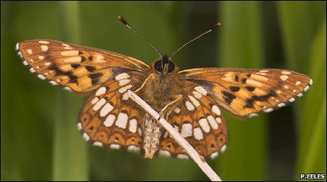 The Duke of Burgundy (P.Eeles)