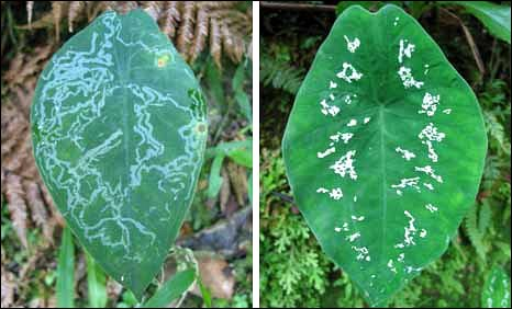 A moth mined leaf and a variegated leaf of Caladium steudneriifolium